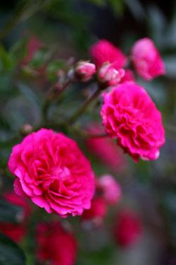 庭の花キングローズ2