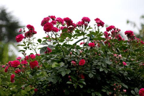 庭の花キングローズ3