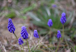 庭の花ムスカリ1s