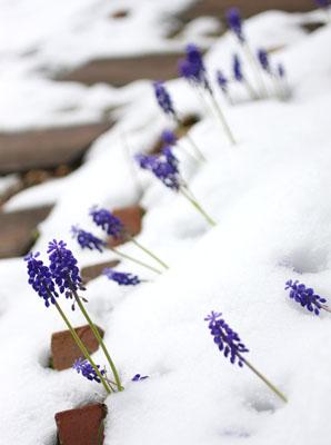 庭の花ムスカリ2