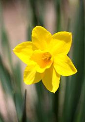 庭の花水仙1s