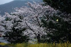 佐野の桜1s