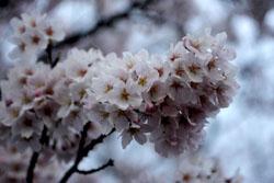 佐野の桜2s