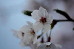 佐野の桜3s