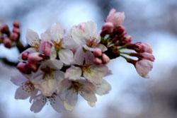 佐野の桜4s