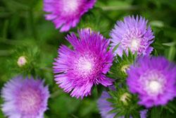 庭の花ストケシア1