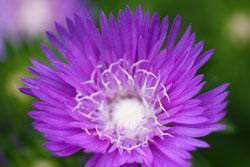 庭の花ストケシア2