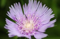 庭の花ストケシア3
