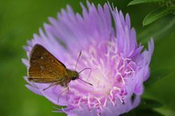 庭の花ストケシア5
