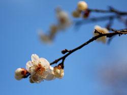 偕楽園の梅の花1