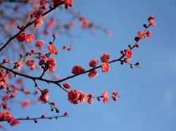 偕楽園の梅の花2