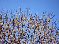 偕楽園の梅の花3