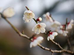 偕楽園の梅の花4