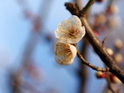偕楽園の梅の花5
