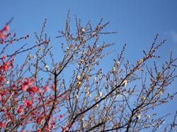 偕楽園の梅の花6