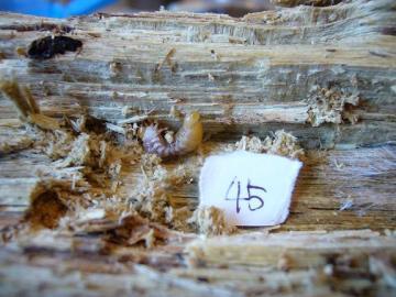 グランディス幼虫1
