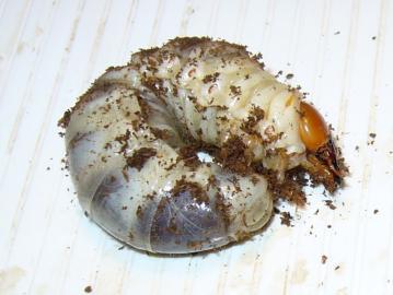 パラワン幼虫2