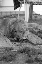 看板犬モノクロ