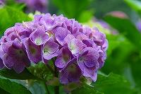 ミニ紫陽花2