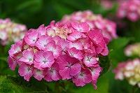 ミニ紫陽花3