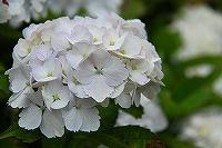 ミニ紫陽花4