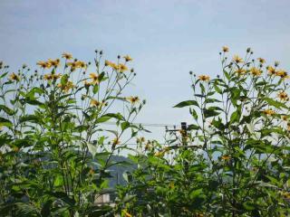 tnH20-09-11菊芋の花
