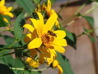 tnH20-09-23菊芋の花(1)