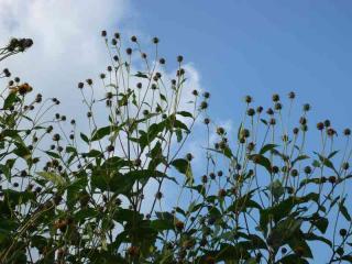 tnH20-10-13菊芋の種 (10)