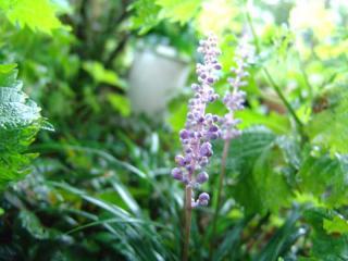 tnH21-07-29リュウノヒゲの花 (6)