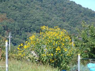 tnH21-09-20菊芋の花 (6)