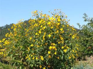 tnH21-09-20菊芋の花 (5)