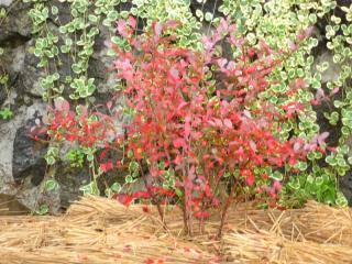 tnH21-11-14ブルーベリーの紅葉 (2)