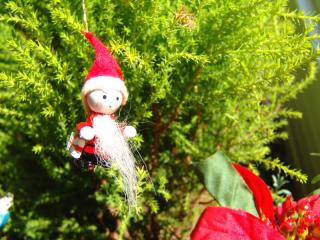 tnH21-12-02ゴールドクレストのクリスマスツリー (6)