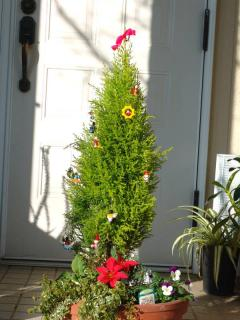 tnH21-12-02ゴールドクレストのクリスマスツリー (11)