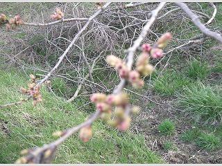 桜開花 001