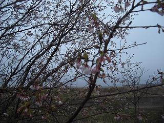 桜開花第二段 001