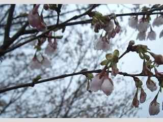 桜開花第二段 002