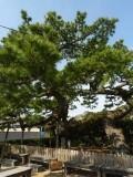 03302昇龍の松(梅女文化資料館)