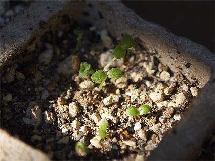 シチトウスミレの発芽