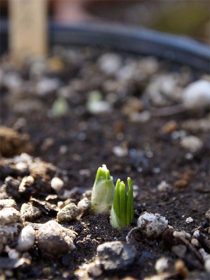 クロッカスの芽