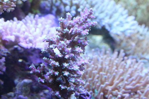 101012珊瑚堂産①
