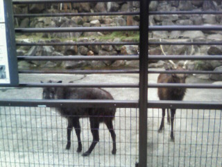 日本かもしかと日本鹿