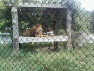 しょっちゅう吠えるライオン