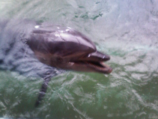 バンドウイルカのダンか健太が寄ってきてスマイル