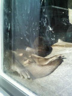 珍しく寝ているコツメカワウソ