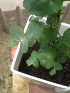 eucalyptus01.jpg