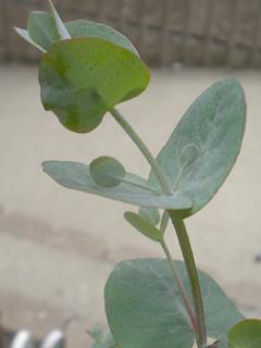 eucalyptus02.jpg