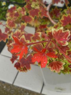geranium01.jpg