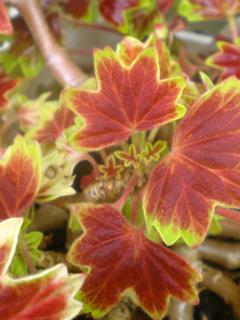 geranium02.jpg