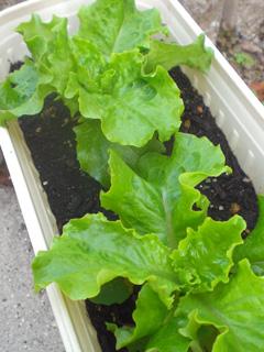 lettuce03.jpg
